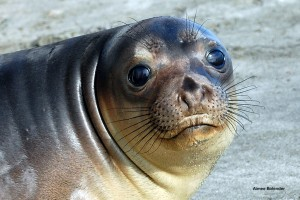 Elephant Seal Pup Weaver -- All Right's Reserved
