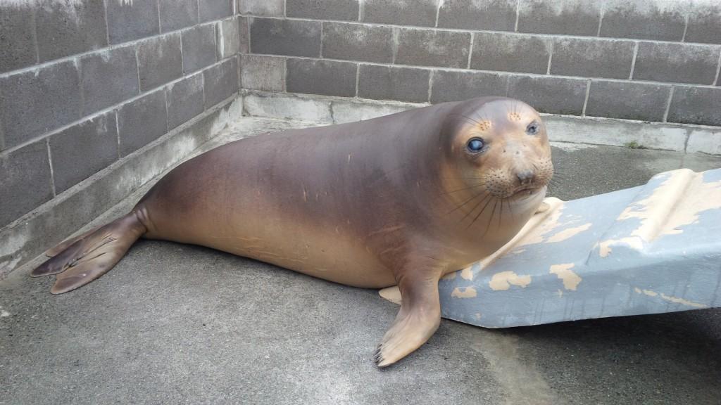 Coolio -- Elephant Seal