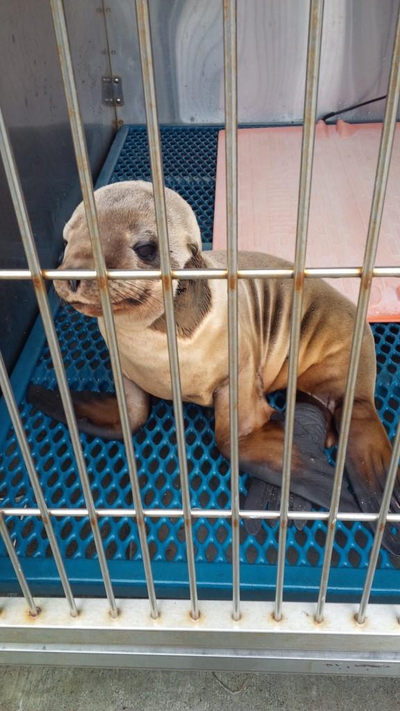 Rangerette -- California Sea Lion Admission Photo